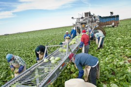 Migrant farm workers from Mexico pick, de-core and pack the lettuce in Yuma, Arizona, February 26, 2010. (Photo: Michel Duarte/Walter Cronkite School of Journalism and Mass Communication)