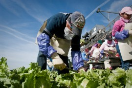 A migrant farm worker who wishes not to be identified bends over, cuts and prepares the lettuce in just a few seconds. He repeats this process for about 8 hours a day. (Photo: Michel Duarte/Walter Cronkite School of Journalism and Mass Communication)